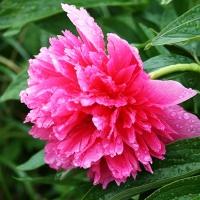 Пион лекарственный Рубра Плена (Peony officinalis Rubra Plena)