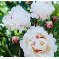 Пион молочноцветковый (Paeonia lactiflora Festiva Maxima)