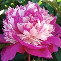 Пион молочноцветковый (Paeonia lactiflora Celebrity)