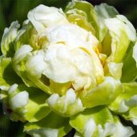 Пион молочноцветковый (Paeonia lactiflora Green Halo)